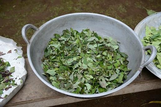 Achuar traditional medicine preparation.