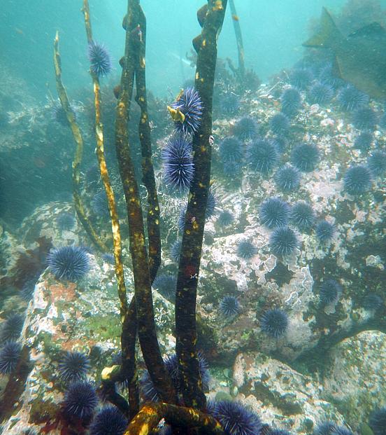 Photo 3-Photo Credit-Andrew Weltz-Urchin scrawling-kelp loss