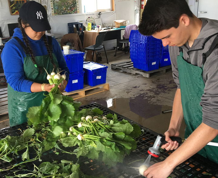 Youth farmers clean freshly harvested produce for distribution.